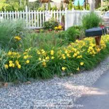 stella d oro daylily past plants of the day forum daylily of the day stella de oro