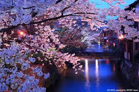 captivating night and day march cherry blossoms zekkei japan