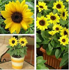 pink sunflower seeds pink sunflower seeds suppliers and
