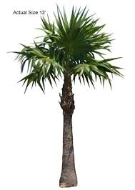 154 best buy palm trees real palm trees at the palm tree store