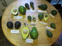 know your avocado varieties and when they u0027re in season food republic