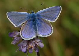 butterfly conservation common blue
