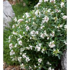 Shrub Small White Flowers - bright and colourful shrubs from 4 50 sarah raven