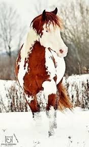 pretty musclar paint horse with gorgeous colors and markings
