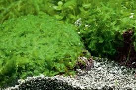 five of the best aquarium mosses u2014 practical fishkeeping magazine