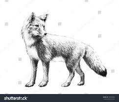 royalty free fox sketch hand drawn fox illustration u2026 265760969