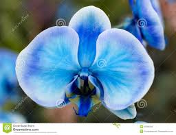 Blue Orchid Flower - blue orchid flower royalty free stock photography image 1973297