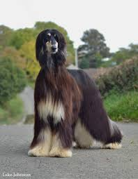 afghan hound pictures afghan hound danluke whippets