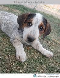 risk n hope australian shepherds molly basset hound australian shepherd mix beautiful puppy