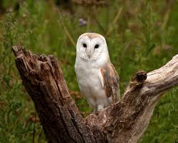Barn Owl Photography Whooo Are Farmers Turning To For Natural Pest Control