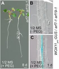non canonical wox11 mediated root branching contributes to
