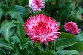 bellis perennis treasaflora