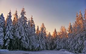 winter pine cold snow forest white tree spruce winter woods