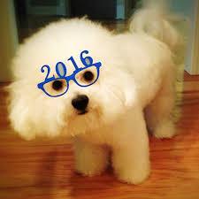 bichon frise cute bichon frise new years 2016 cute puppy pictures