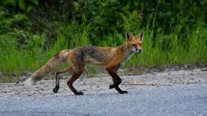 fox removal los angeles ca pest removal nj