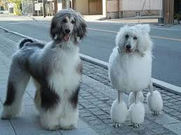 afghan hound 9 months beautiful afghan hound with an astounding poodle poodles