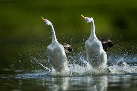 amazing animals that walk on water u2013 national geographic society