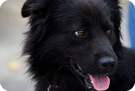 belgian sheepdog rescue california dave the dog adopted dog poway ca australian shepherd