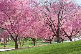 beautiful blooming trees for garden colormag