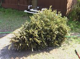 recycling christmas trees 3 steps