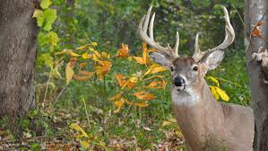 When Do Deer Shed Their Antlers by Nra Blog What Do Bucks And Velvet Have In Common