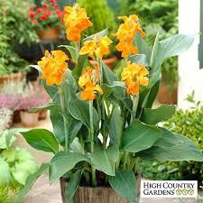 canna lilies canna orange magic canna indica high country gardens