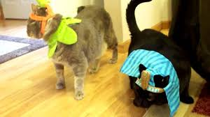 funny meowing cats dressed up in halloween pet costume smokey