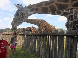amazing giraffe facts for kids