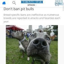 american pitbull terrier traits responsible pet ownership bulletproof pitbulls