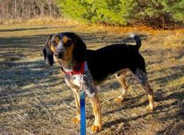 bluetick coonhound in michigan view ad affen frise mix dog for adoption massachusetts scituate