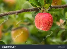 ripe royal gala apples on apple stock photo 389038840 shutterstock
