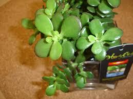 House Plant Inner Growth Jade House Plant
