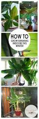 how to grow bananas indoors this winter bananas tree care and