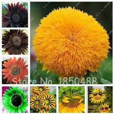 aliexpress buy 50 seeds sunflower seeds