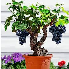 rosemerc grapes seed price in india buy rosemerc grapes seed