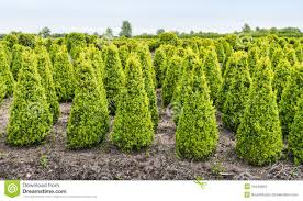 young boxwood shrubs growing in a nursery stock photo image