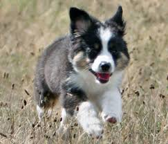 australian shepherd dog puppies australian shepherd top dogs and puppies