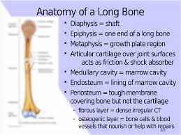 tortora chapter 6 the skeletal system bone tissue 2 6