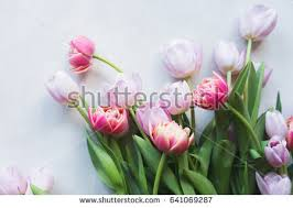 Images Of Tulip Flowers - tulips stock images royalty free images u0026 vectors shutterstock