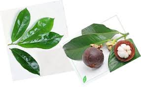 Obat Tbc obat tbc herbal obat tbc herbal dari kulit manggis dan daun sirsak