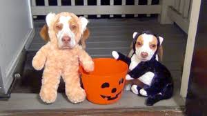 animals halloween dogs go trick or treating on halloween cute dog maymo u0026 puppy