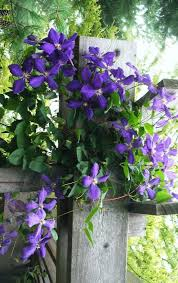 clematis balkon the 25 best ideas about clematis schneiden on