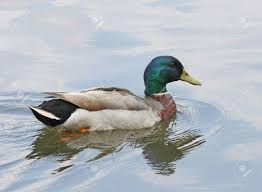 a male mallard duck swimming in the lake stock photo picture and