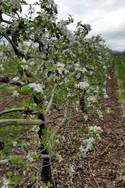crop 101 pa 4 wire apple trellis kuhn orchards