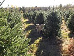 wholesale christmas trees pleasant view tree farm