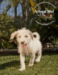 australian shepherd rescue san diego and friends bob is an australian shepherd adoptable from aussie rescue san