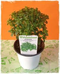 basilico in vaso malattie basilico greco ocimum basilicum vendita piante