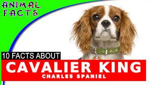 australian shepherd dogs 101 dogs 101 cavalier king charles spaniel cool fun facts information