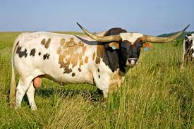 Texas traveled definition images Texas longhorn cattle click here for high res of this photo jpg
