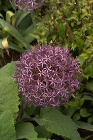 ornamental alliums lambley nursery